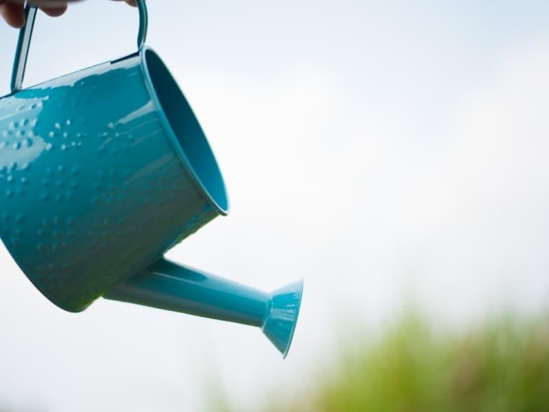 how to water hydrangeas