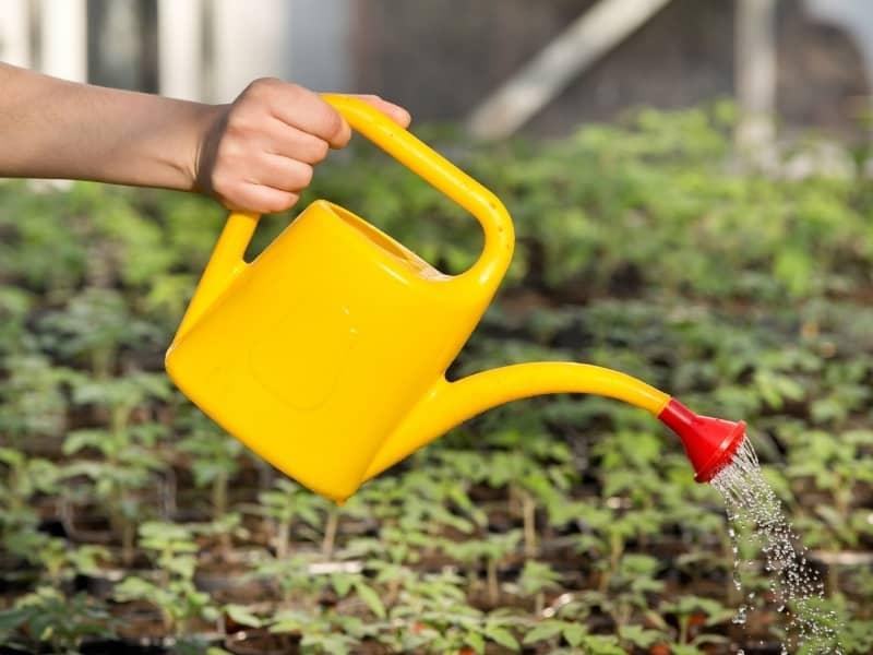 how to water iris bulb
