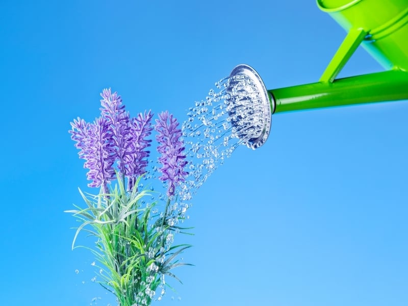 how to water lavender