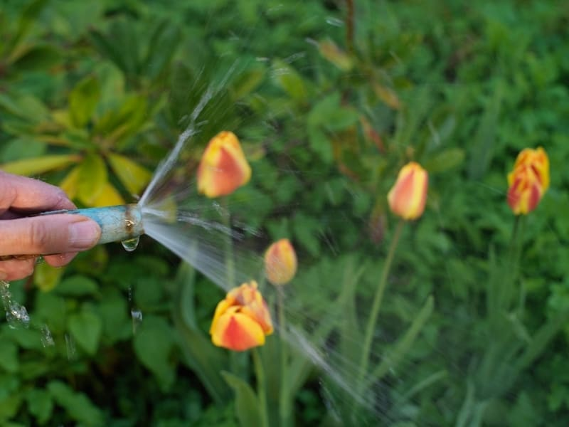 how to water tulips