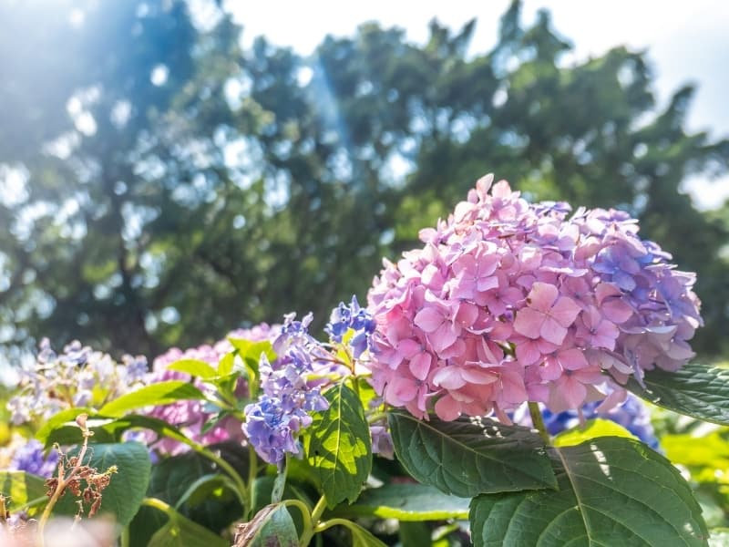 planting hydrangeas in different climates
