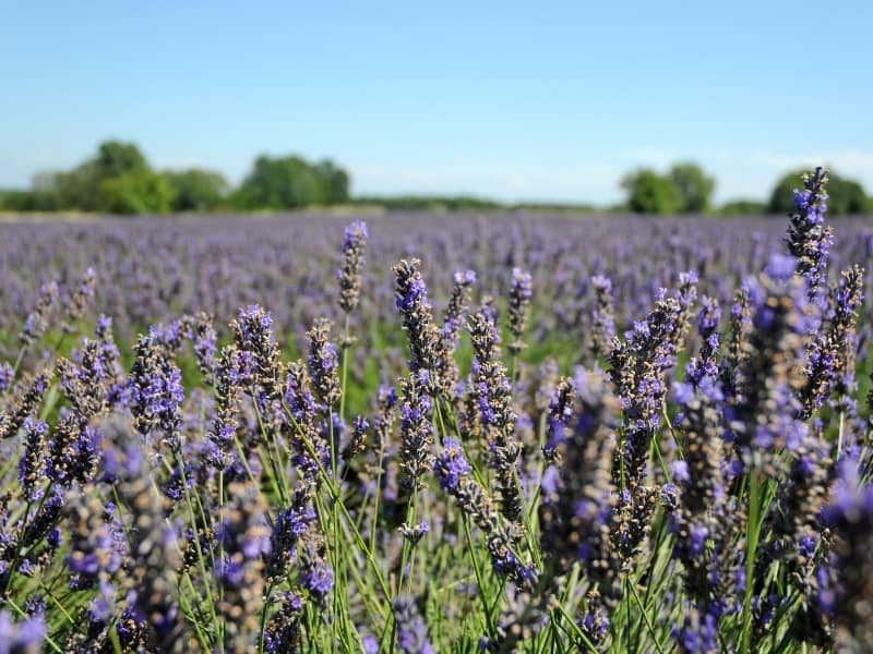 planting lavender in different climates
