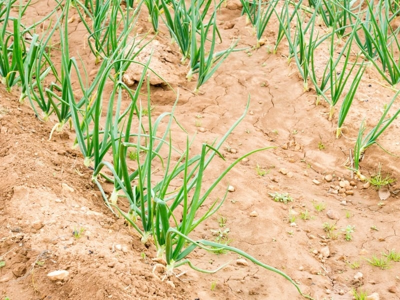 planting onion in different climates