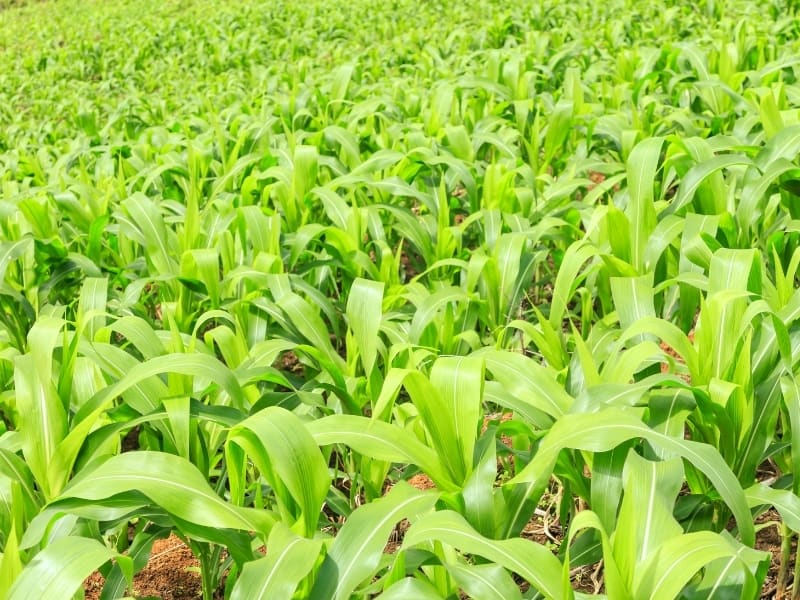 when to plant corn