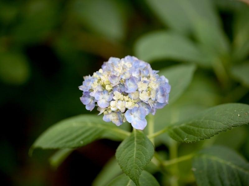 when to plant hydrangeas