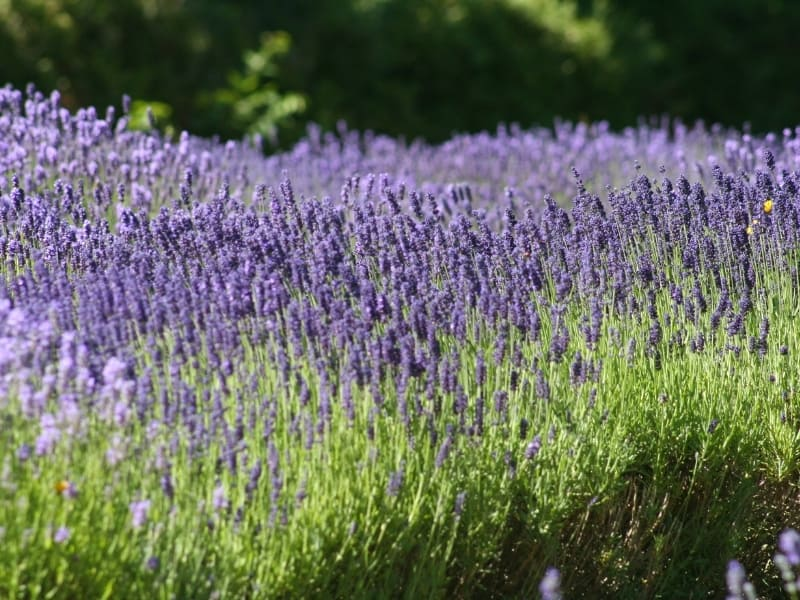 when to plant lavender