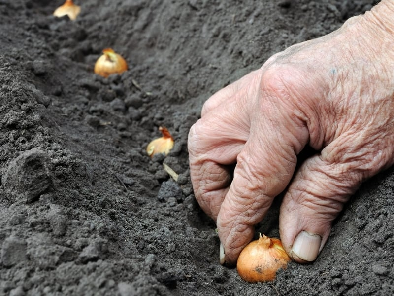 when to plant onions
