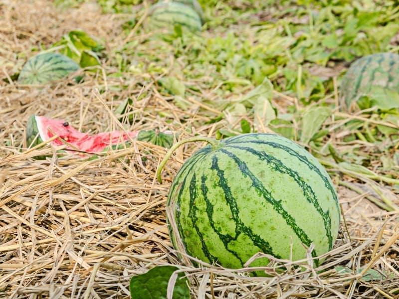 when to plant watermelon