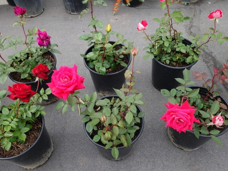 bare root vs potted roses
