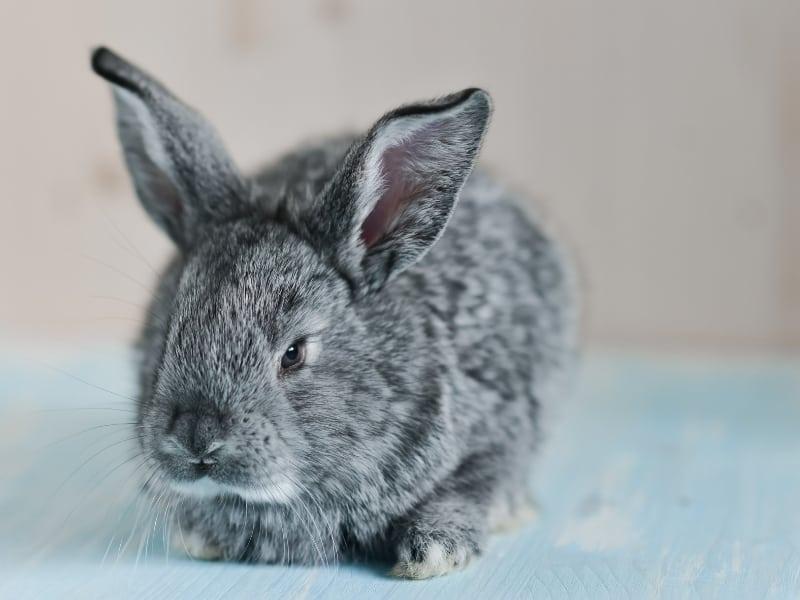 characteristics of chinchilla rabbit