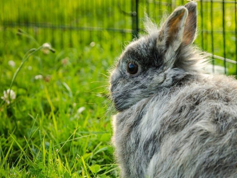 characteristics of harlequin rabbit