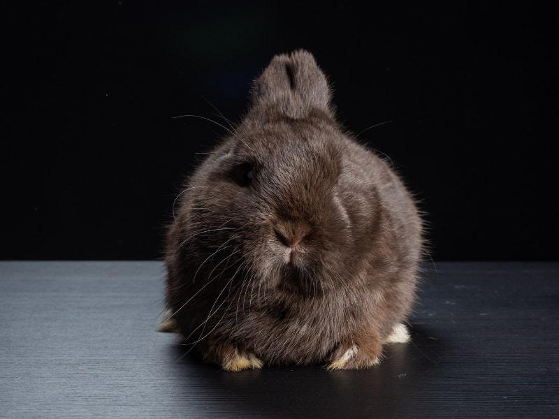 characteristics of havana rabbit