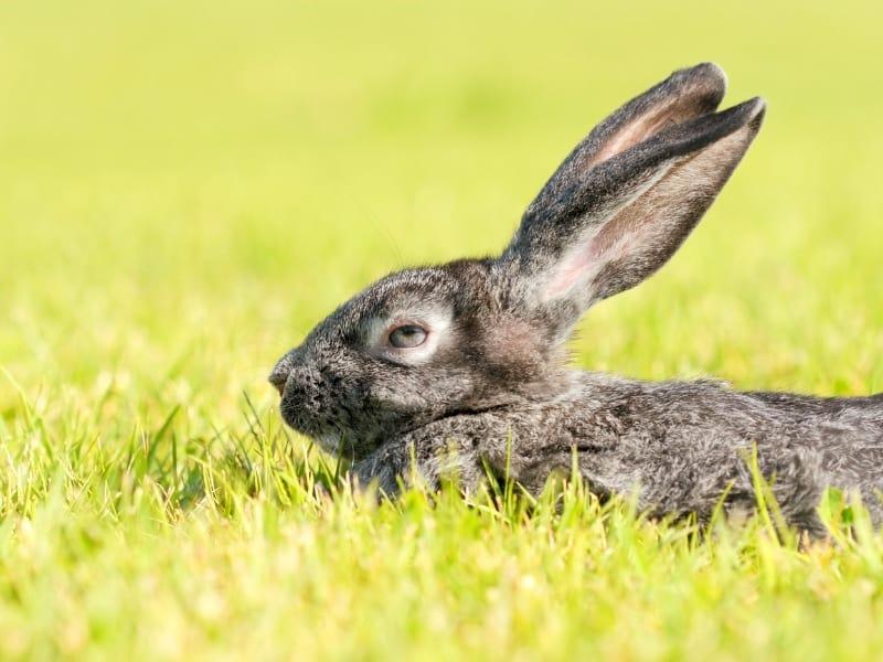 characteristics of silver fox rabbit