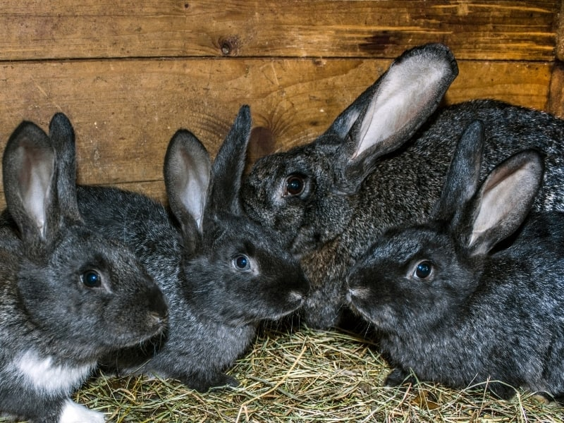 chinchilla rabbit care