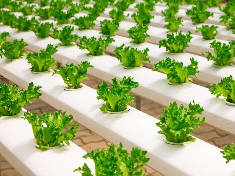 growing lettuce in aquaponics