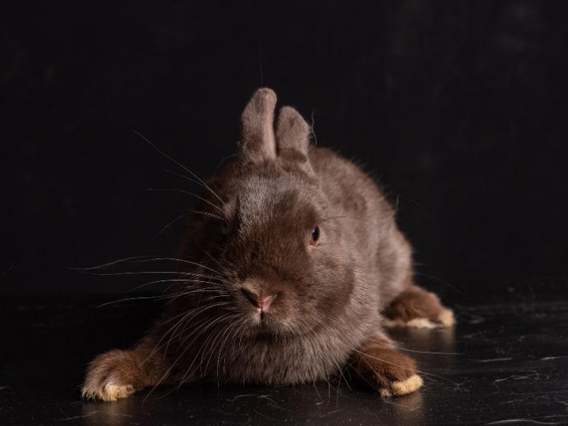 havana rabbit care