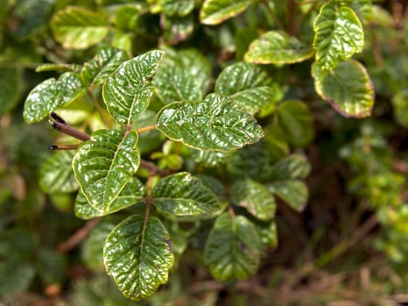 how to be careful with poisonous plants