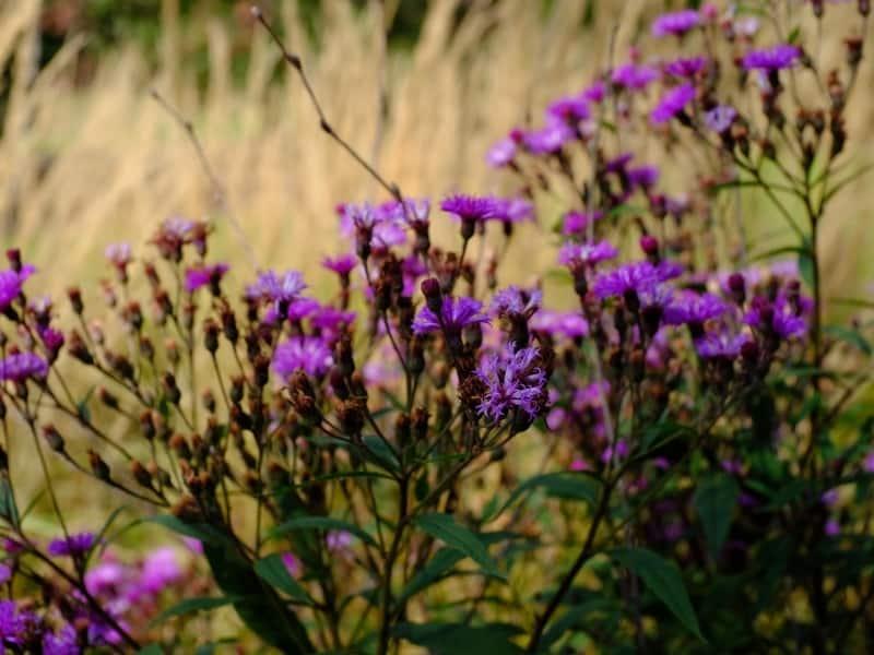 how to grow vernonia perennials