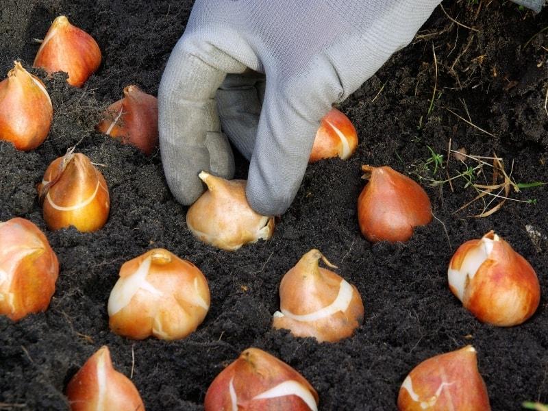 how to grow bulbs