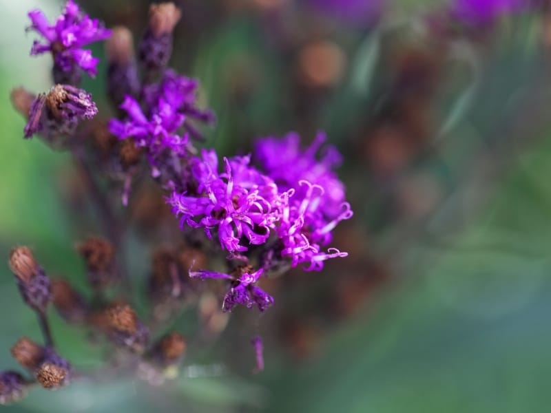how to grow veronia from seeds