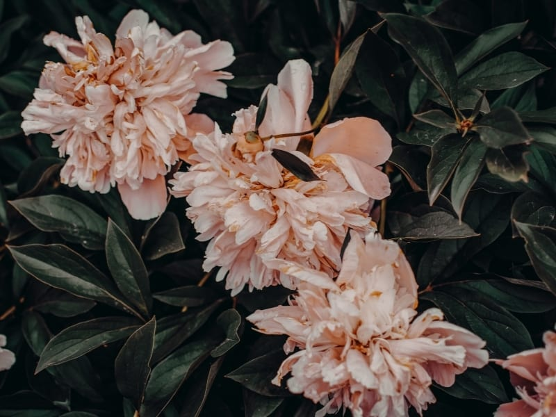 how to water peonies