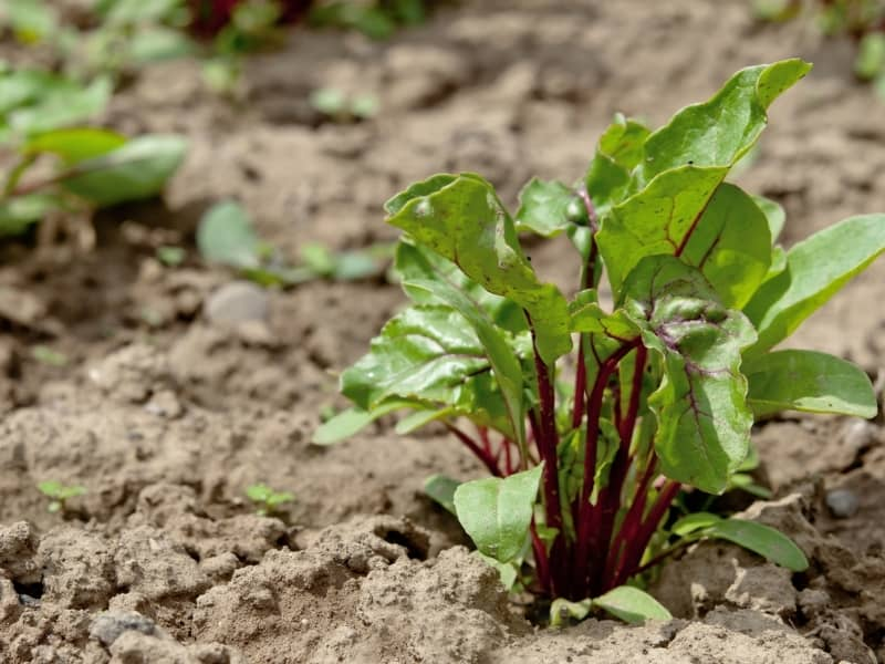 planting beets in different climates