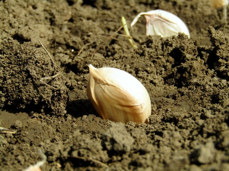 planting garlic in different climates