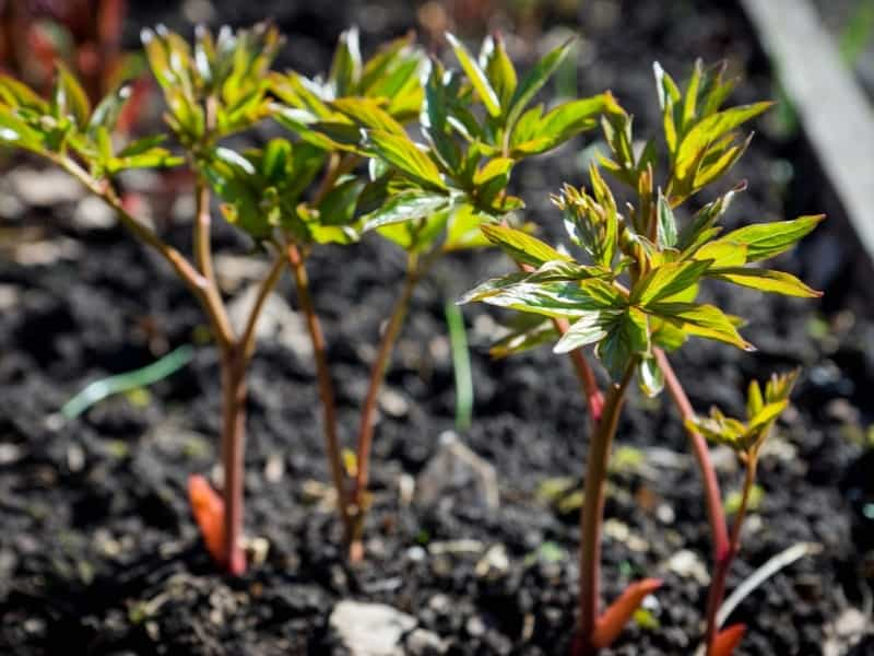 planting peonies in different climates