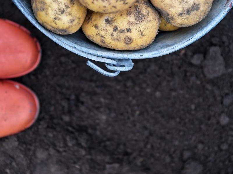 potato gardening hack