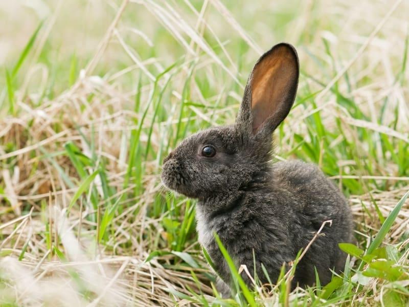 silver fox rabbit care
