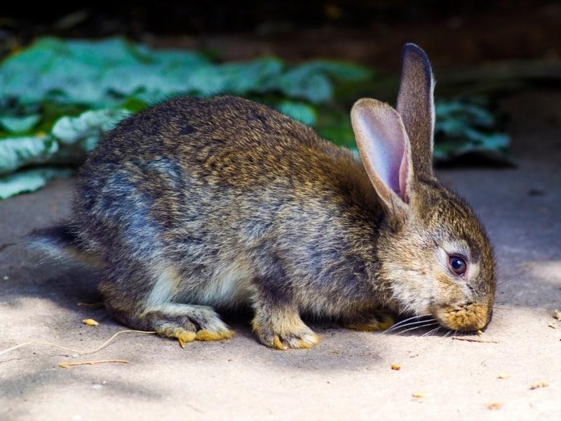 silverfox rabbit