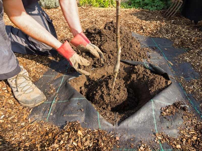 when to plant apple tree
