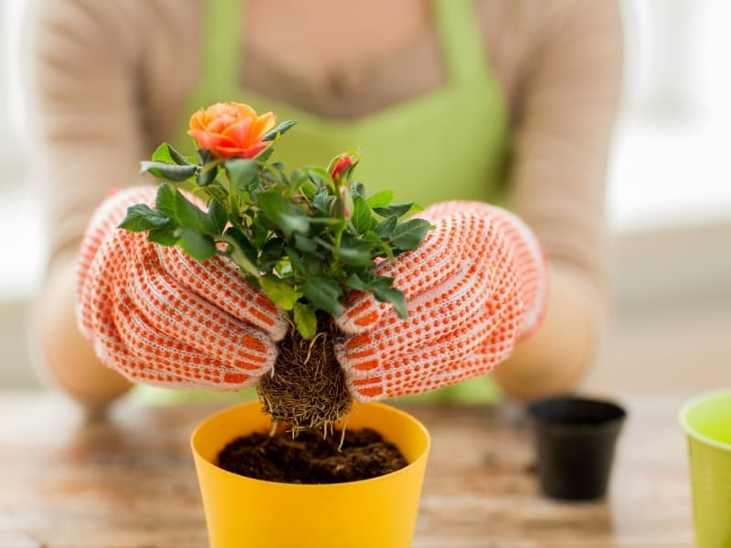 when to plant roses