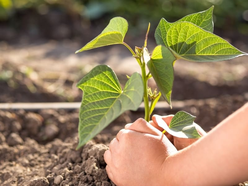 when to plant sweet potatoes