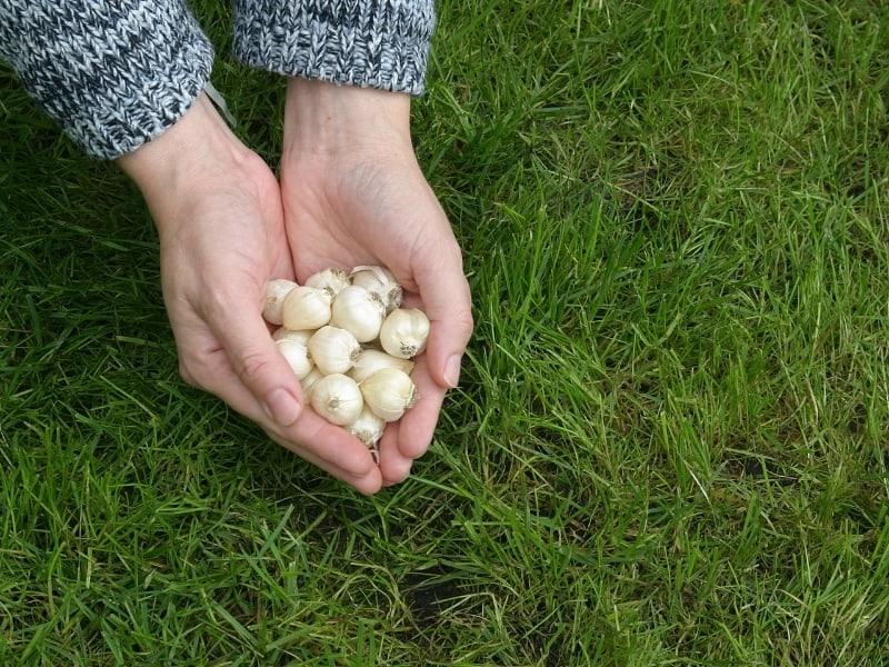 allium bulb seeds