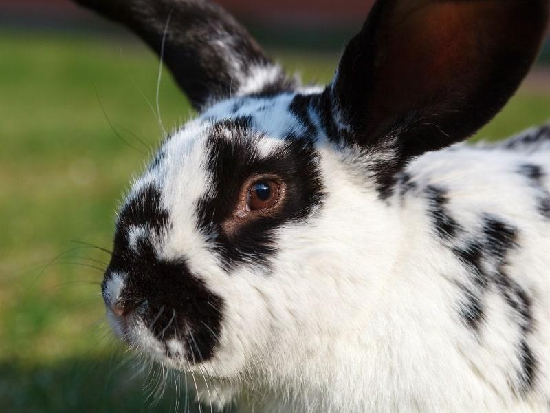 characteristics of checkered giant rabbit