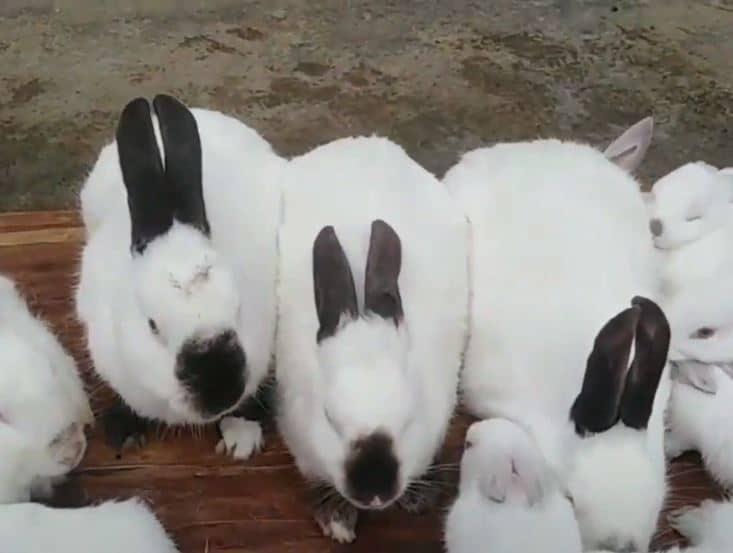 himalayan rabbit care