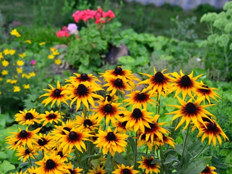 how to plant black eyed susans