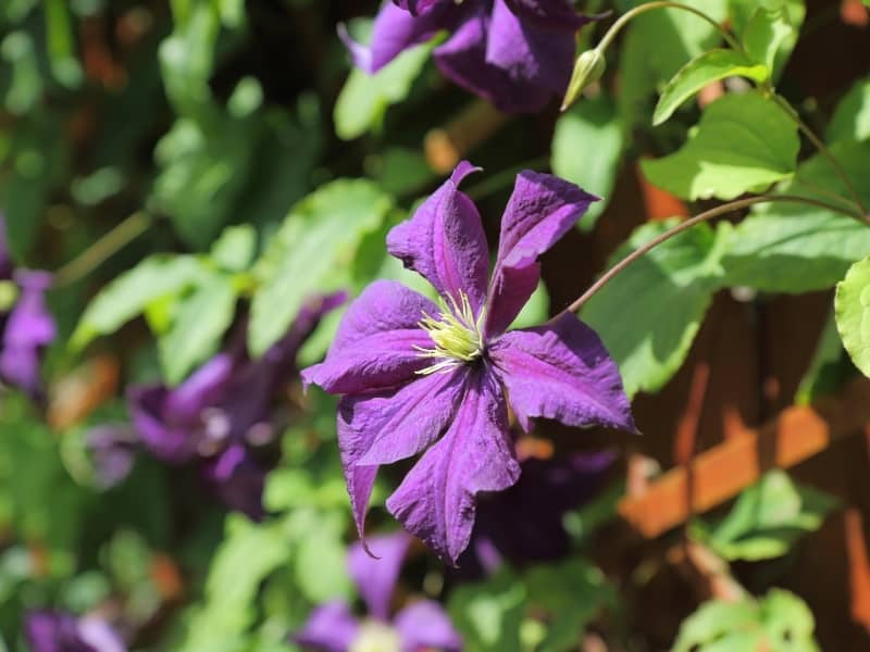 how to plant clematis