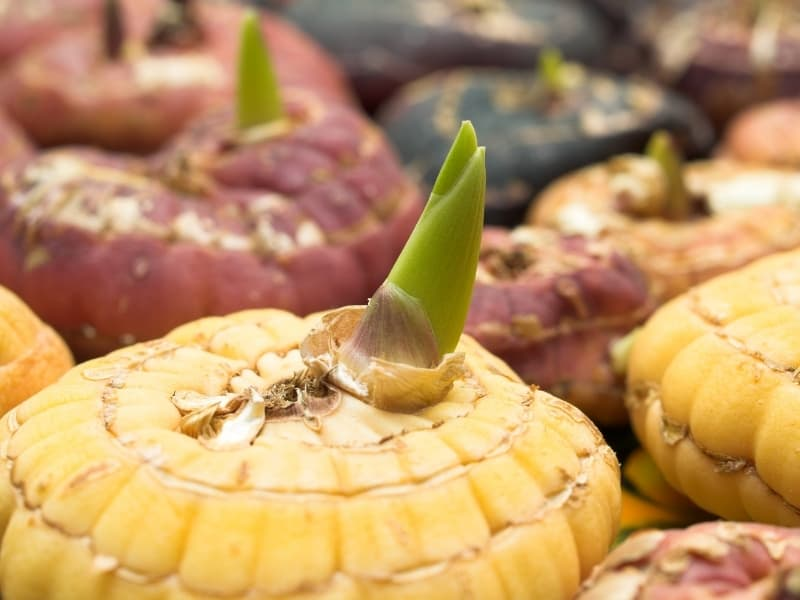 how to plant lily bulbs