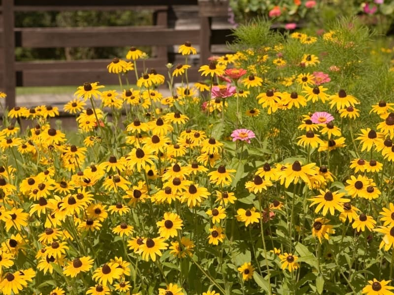 planting black eyed susans in different climate