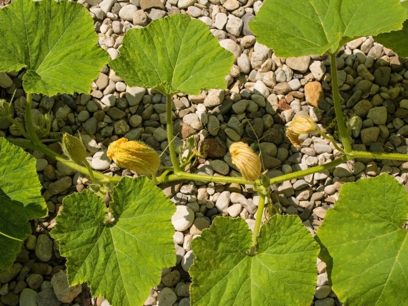 planting butternut squash in different climates