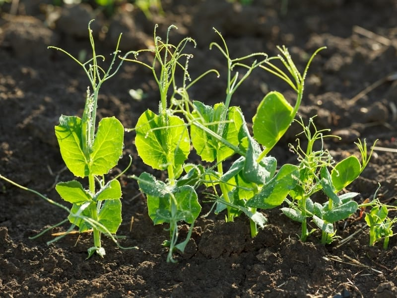 planting peas in different climates