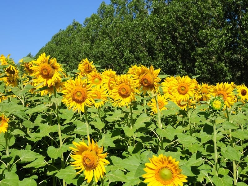 planting sunflower in different climates