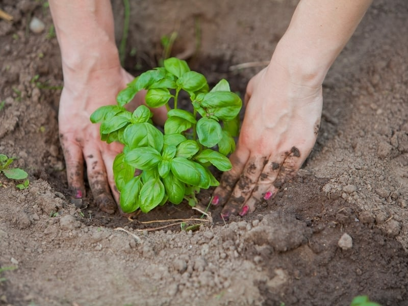when to plant basil
