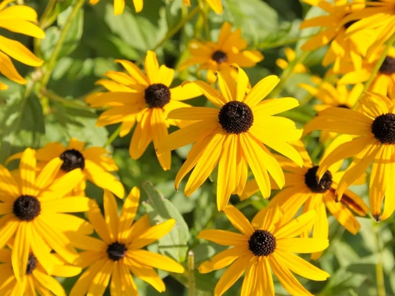 when to plant black-eyed susans