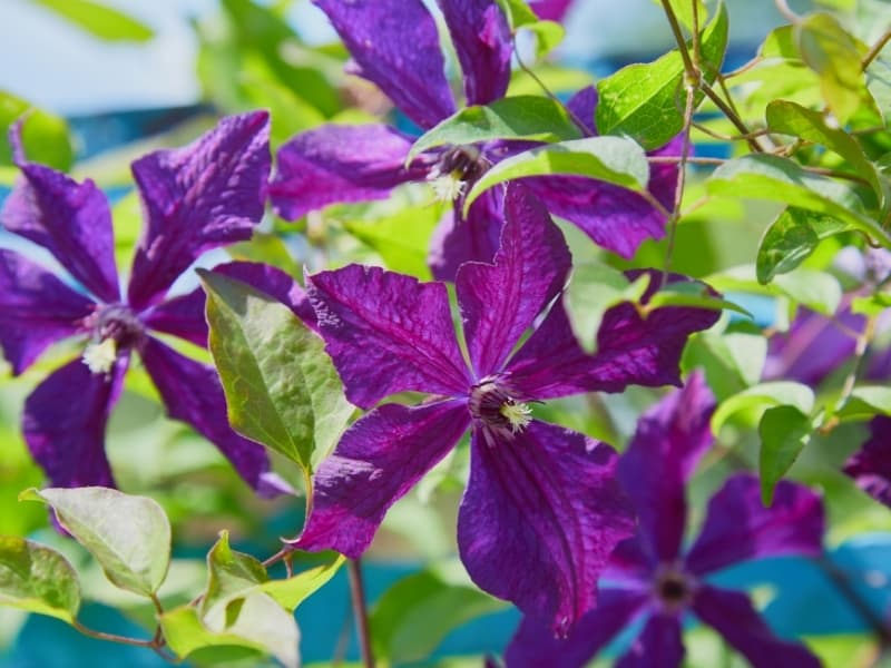 when to plant clematis