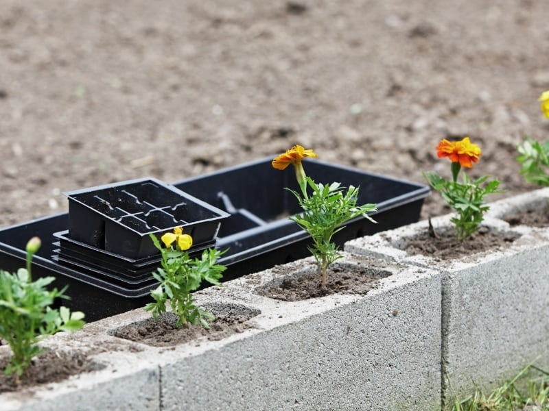 when to plant marigolds