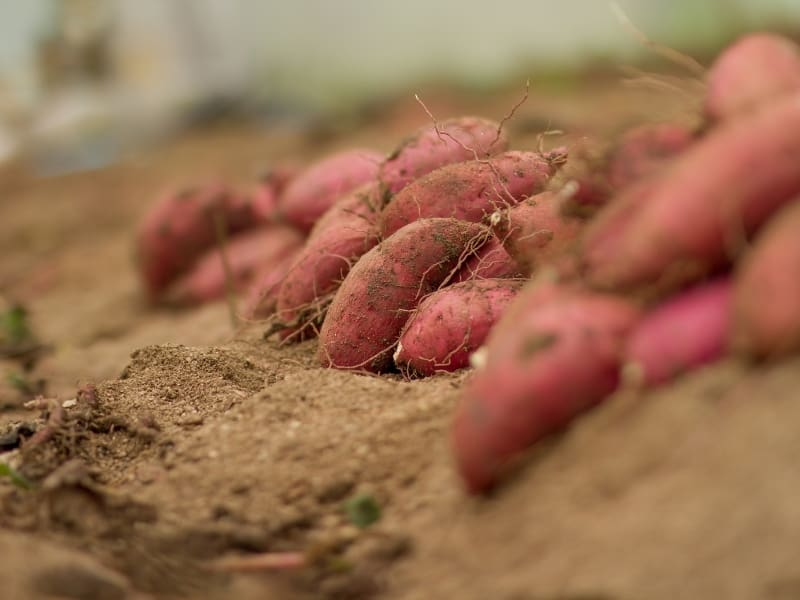 best time to harvest sweet potatoes