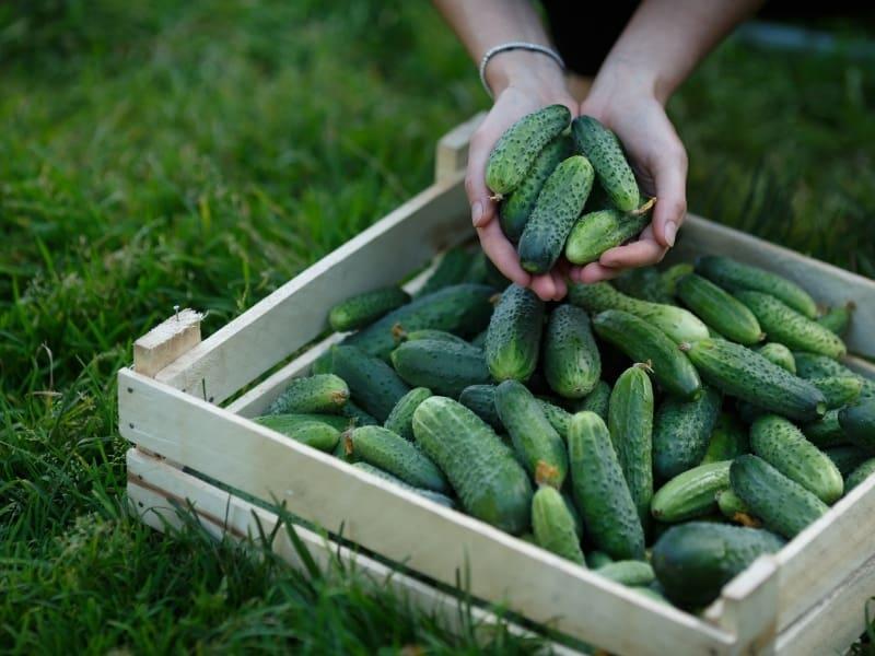 cucumber varieties